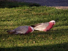 Galahs  (Roseate Cockatoos) (Tatters:)) Tags: bird birds geotagged australia qld wikipedia cockatoo geotag galah cacatua cacatuaroseicapilla eolophusroseicapillus eolophus cacatuidae roseicapilla eolophusroseicapilla