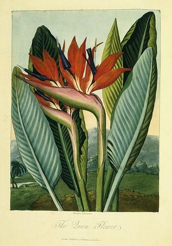 10-Esterlizia o reina de las plantas