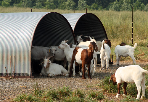 Goats using the port-a-hut shelters
