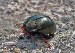 reflecta-bug (silyld) Tags: ireland red irish macro reflection green closeup bug legs cork beetle corcaigh leafbeetle naturesfinest