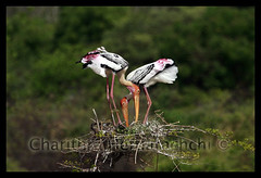 Building a Nest (charithra Hettiarachchi) Tags: colour building tree bird home nature eos nest srilanka twigs yala treetop paintedstork canon golddragon 400d charithra hettiarachchi