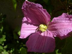 purple flower (dandavie) Tags: plants flower macro nature purple dying