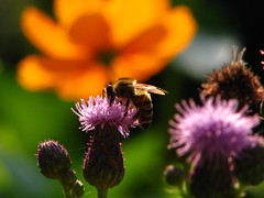 bee on field of orange and green