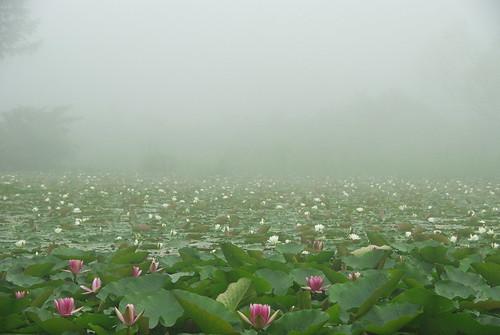 20080712021霧と蓮