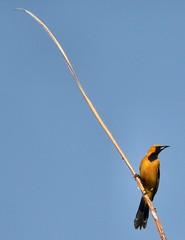 Tweet (Lara's  Stuff) Tags: bird hoodedoriole icteruscucullatus tweet
