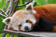 Should I sleep or not? (Tambako the Jaguar) Tags: red france cute closeup zoo nikon panda looking small fluffy tired lying staring d300 amnville impressedbeauty aplusphoto photofaceoffwinner platinumheartawards pfogold goldstaraward flickrlovers vosplusbellesphotos