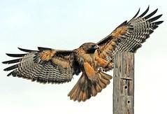 Red Tail Hawk Landing (Sharpeyesonline) Tags: color bird wings bright sandiego hawk landing coastal raptor redtailedhawk buteojamaicensis talons specanimal betterthangood theperfectphotograher willjamessooter wwwsharpeyesonlinecom photocontesttnc09