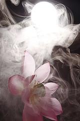 Lotus Flower - IMG_9805