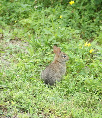 Very young Cottontail