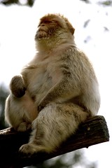 Barbary Macaque 04