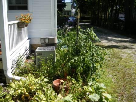 Tomato Bush Tied to the Porch