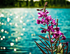 The bokeh, they are swimming. (Steanie) Tags: pink flowers blue lake green water colorful bokeh explore sparkly hbw bokehonthewater swimmingbokeh