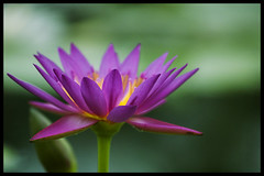 Lotus on soft green (Eric Flexyourhead) Tags: flower green japan waterlily lily purple lotus bokeh vibrant vivid colourful kakegawa kachoen zd olympuse500 40150mm shizuokaken