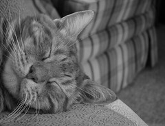 B&W Skippy (ginfox) Tags: sleeping blackandwhite cat feline tabbycat depthofvision