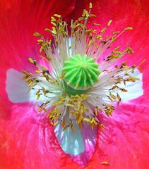 poppy (✿ Graça Vargas ✿) Tags: flower macro poppy excellence papoula galllery papaverorientale interestingness480 i500 graçavargas duetos ©2008graçavargasallrightsreserved 34132250310