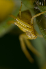 20080829-_DSC3801 Crab Spider, Misumena vatia (ClifB) Tags: 150mm 2008 arachnid august canon500d crabspider dorset garden home macro misumenavatia nikon outdoors sb800flash sigma spider wildlife yellow
