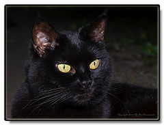Negrita in the woods (Ratatusk) Tags: family cats fauna mammal europa europe sweden småland sverige region mammalia domesticcat familj negrita felidae feliscatus kattdjur däggdjur tamkatt hökhult