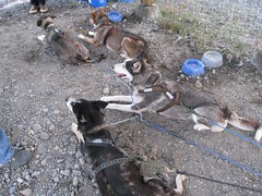 Sled Dogs (steinba) Tags: dogs alaska copperriver