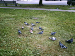 Pigeons on the Grass