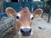 Jersey Cow (Matthew Benjamin Coleman) Tags: cameraphone urban colour london animal animals digital geotagged cow farm southlondon lambeth vauxhall cityfarm jerseycow vauxhallcityfarm londonboroughoflambeth