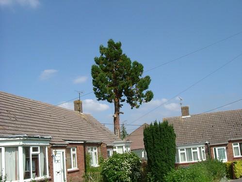 tree felling 014