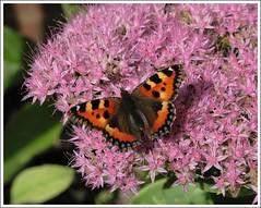 Butterfly (Darren Speak) Tags: butterfly