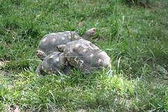 La morrocoya... (</BeniteX>) Tags: animal zoo venezuela caracas sexo vista tortuga ocio chavez zoologico coito caricuao morrocoya fornicar rosainez