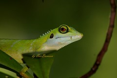 What're you doing here (Ericbronson's Photography) Tags: green nature closeup wildlife crest lizard discovery naturesfinest aplusphoto ericbronson