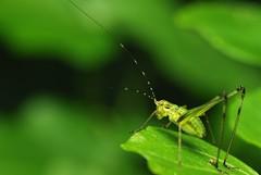 Katydid-051008-001 (king-fisher) Tags: macro katydid bushcricket longhornedgrasshopper