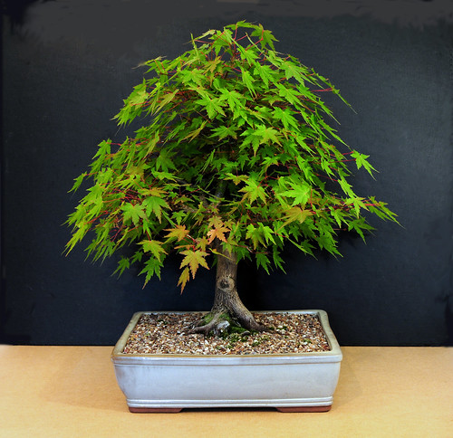 japanese maple bonsai tree. Japanese Mountain Maple Bonsai
