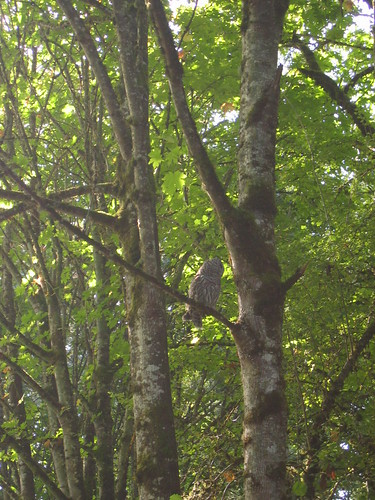 Barred owl in Champoeg State Park
