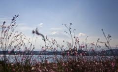 Fuji Seen Through flowers at Kawaguchi Lake (aeschylus18917) Tags: japan yamanashi kawaguchilake shibazakura mossflox nature fuji mtfuji fujiyama kawaguchiko nikon d700 danielruyle aeschylus18917 danruyle druyle landscape scenery ダニエルルール ダニエル ルール mountfuji 富士山 fujisan yamanashiprefecture 山梨県 yamanashiken lake mountain 日本 pxt 2485mm