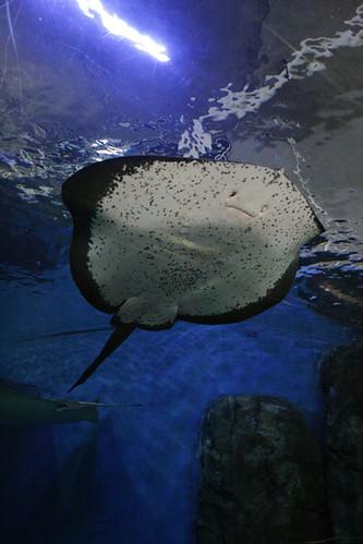 aquarium :: stingray