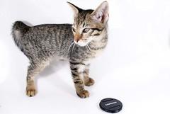 Gizmo - Tigreza Garota Samsung (K.Medeiros) Tags: pet samsung gato gizmo tigreza catnipaddicts