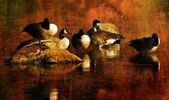 No One Noticed (ozoni11) Tags: lake bird texture nature birds photoshop geese interestingness nikon lakes goose explore textures wetlands waterfowl canadagoose canadageese wetland columbiamaryland d300 468 wildelake interestingness468 i500 michaeloberman explore468 ozoni11
