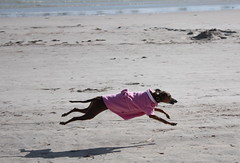 Dressed to impress (Dada Mar) Tags: pink shadow dog greyhound cute beach flying jump spain action coat run italiangreyhound ig emka dresseddog