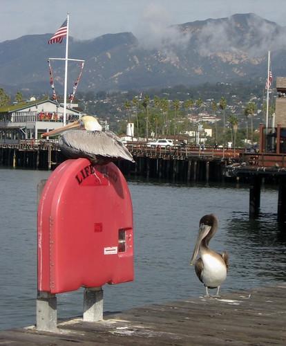 California Brown Pelican Stern's Wharf