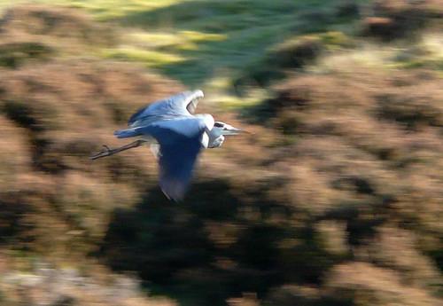 The flight of the ....heron
