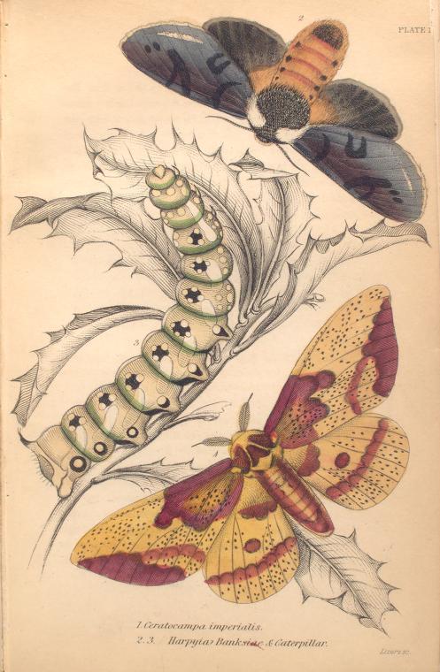 1. Ceratocampa imperialis; 2.3. Harpyia Banksiae & Caterpillar.  (1843)
