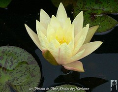 P2080953 There are no rules for good photographs, there are only good photographs. ~ Ansel Adams (Frozen in Time photos by Marianne AWAY OFF/ON) Tags: flowers flower green nature yellow waterlily waterlilies yellowflowers groundsforsculpture flowerlovers flickrnature nationalgeographicwannabes mywinnerstrophy floweraddicts diamondheart flowersarebeautiful flowersallkinds flowersarefabulous nationalgeographiswannabes