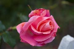 Rose After Rain 074945