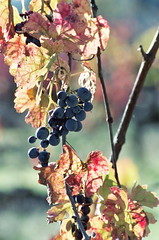 Last of the Wine Grapes (KFrench Photography) Tags: california film wine bokeh weekend vineyards grapes sunlit winecountry nikonn60 mendocinocounty ukiahca