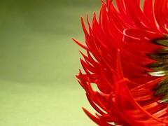 g e r b e r a ( Graa Vargas ) Tags: red flower nikon explore gerbera i500 interestingness127 graavargas 2008graavargasallrightsreserved 30230150211