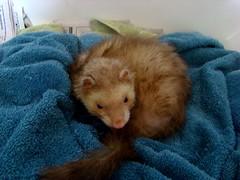 (strawberry:*) Tags: blue cute ferret sony towel bueller dsc h9 foggarty