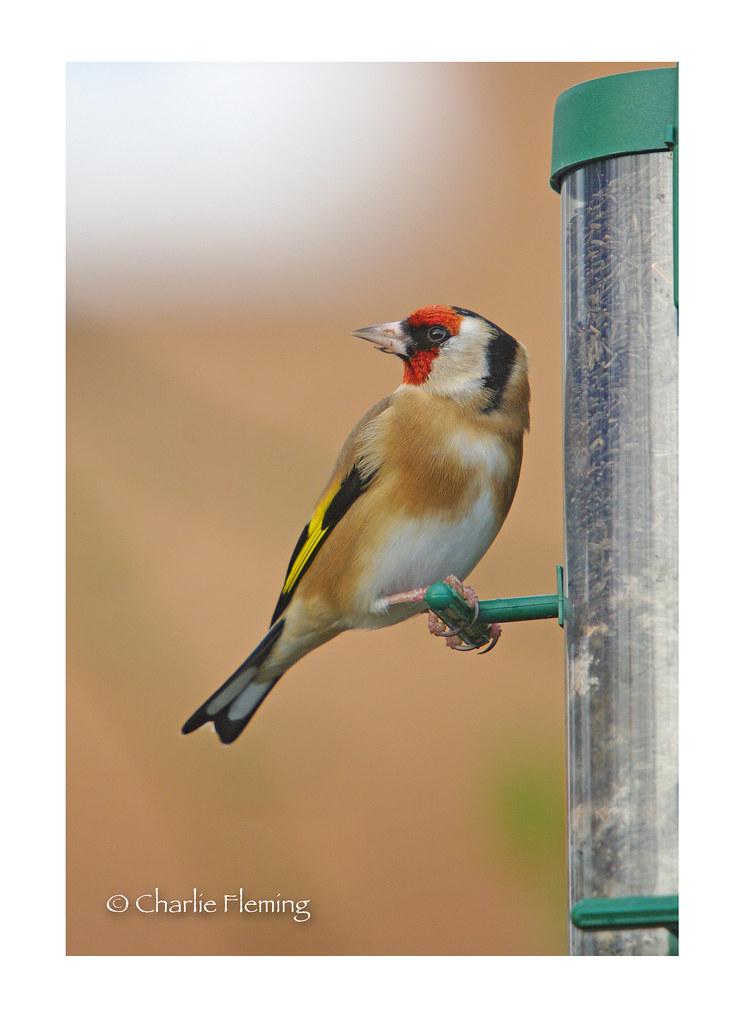 European Goldfinch - Carduelis carduelis