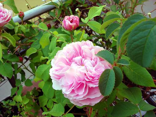 rosen rosa jacques cartier