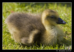 Greylag Gosling (JKmedia) Tags: cute green nature yellow sitting wildlife small young fluffy down gosling resting wwt slimbridge greylag wildfowlandwetlandstrust canoneos40d 15challengeswinner fabcap jkmedia