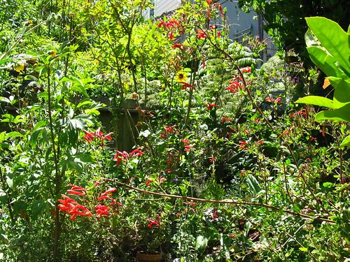 2009-08-01 garden; Keckiella cordifolia