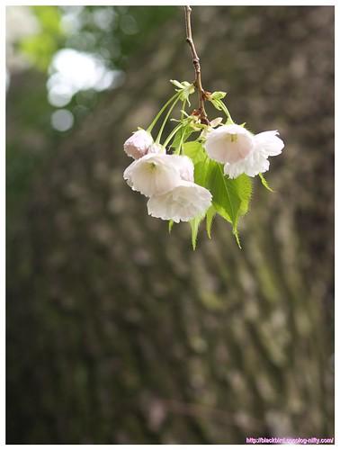 Cherry blossom 100427 #03