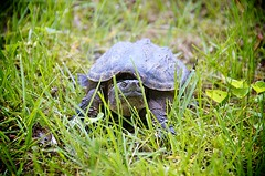 Go Ahead, Make My Day... (lynn.h.armstrong) Tags: camera ontario canada green art grass lens geotagged photography photo interesting mac aperture nikon long flickr legs zoom head snapping turtle south shell lynn h nikkor armstrong stormont vr claws afs gettyimages dx sault ingleside 2011 ifed 18200mm f3556 attributionnoderivs vrii d7000 ccbynd lynnharmstrong requesttolicence